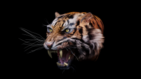 Tiger with Whiskers2