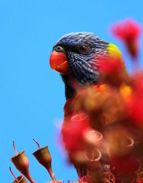 rainbowlorikeet13_photograph_cosgrove_web